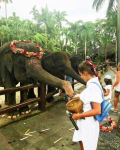 Bali-elephant-feeding